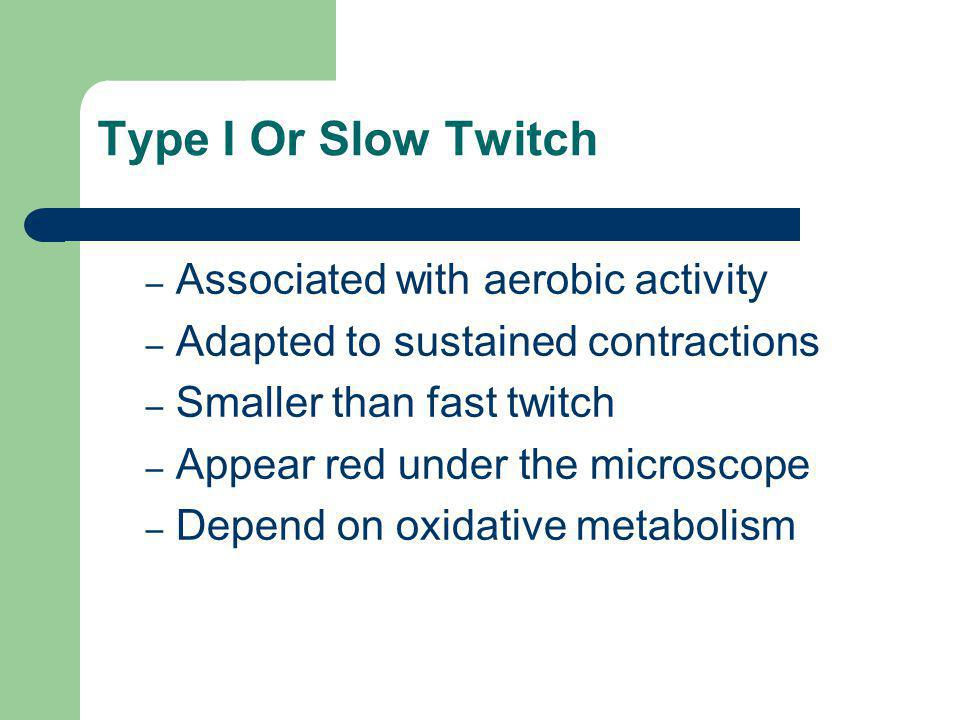 Type I Or Slow Twitch – Associated with aerobic activity – Adapted to sustained contractions – Smaller than fast twitch – Appear red under the microscope – Depend on oxidative metabolism
