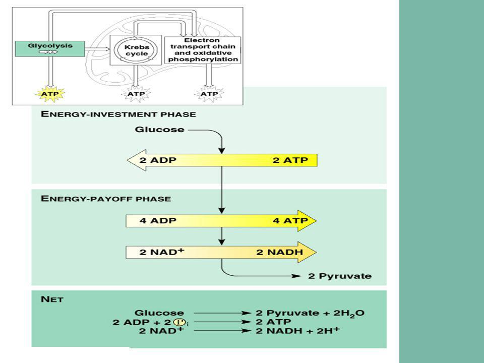Glycolysis Krebs Cycle  Transition of Glycolysis to Krebs Cycle : 1) Pyruvates enter mitochondria 2) Pyruvates converts to Acetyl CoA via.