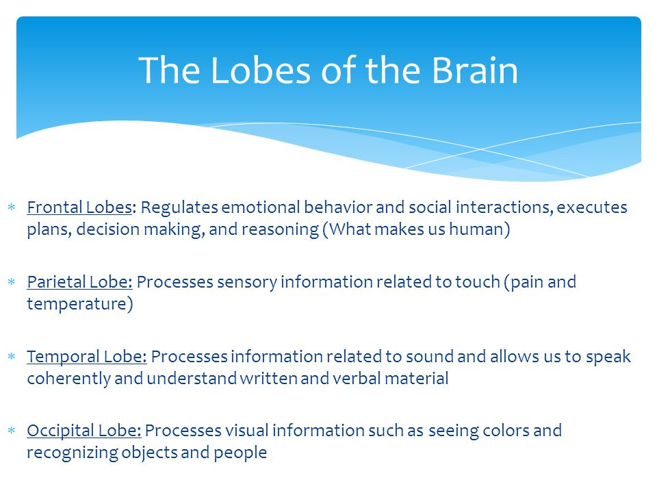  Frontal Lobes: Regulates emotional behavior and social interactions, executes plans, decision making, and reasoning (What makes us human)  Parietal Lobe: Processes sensory information related to touch (pain and temperature)  Temporal Lobe: Processes information related to sound and allows us to speak coherently and understand written and verbal material  Occipital Lobe: Processes visual information such as seeing colors and recognizing objects and people The Lobes of the Brain