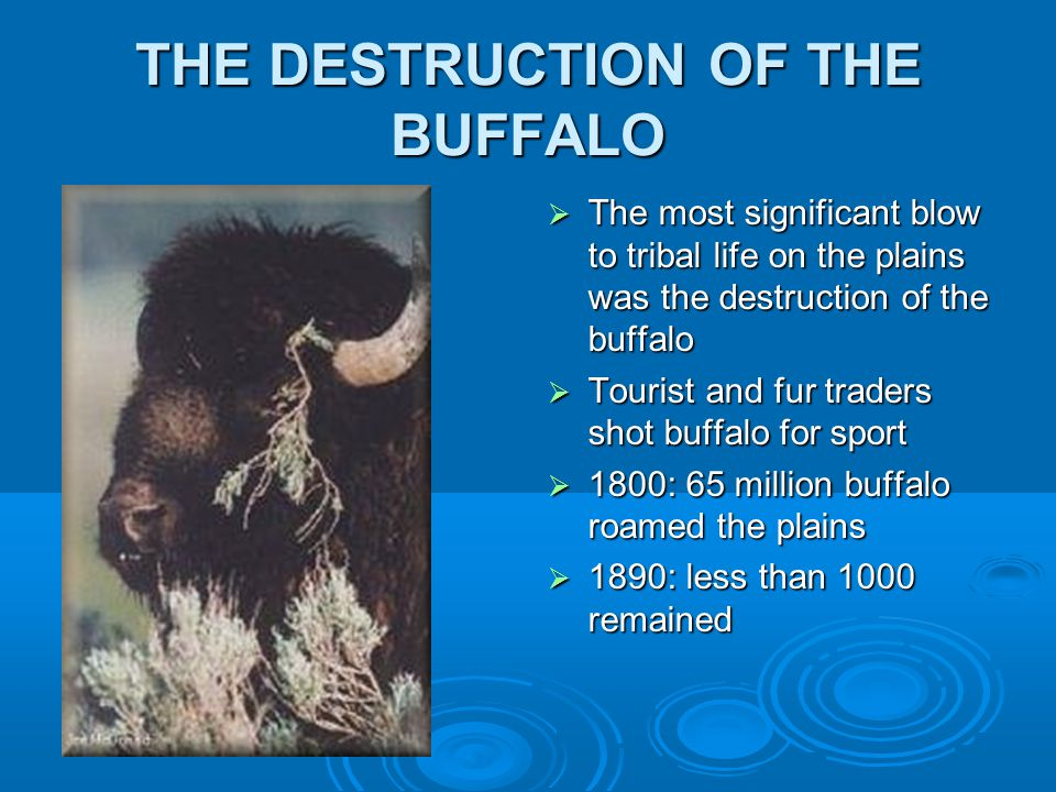 THE DESTRUCTION OF THE BUFFALO  The most significant blow to tribal life on the plains was the destruction of the buffalo  Tourist and fur traders shot buffalo for sport  1800: 65 million buffalo roamed the plains  1890: less than 1000 remained