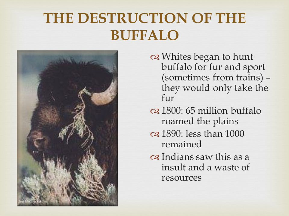 THE DESTRUCTION OF THE BUFFALO  Whites began to hunt buffalo for fur and sport (sometimes from trains) – they would only take the fur  1800: 65 mill