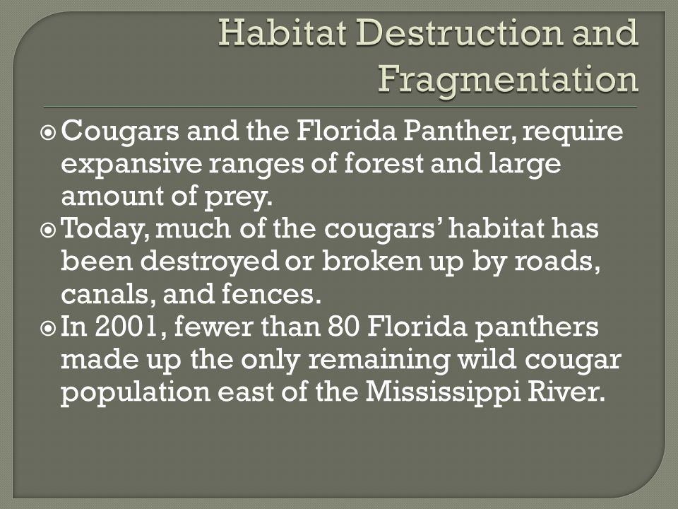  Cougars and the Florida Panther, require expansive ranges of forest and large amount of prey.  Today, much of the cougars' habitat has been destroy
