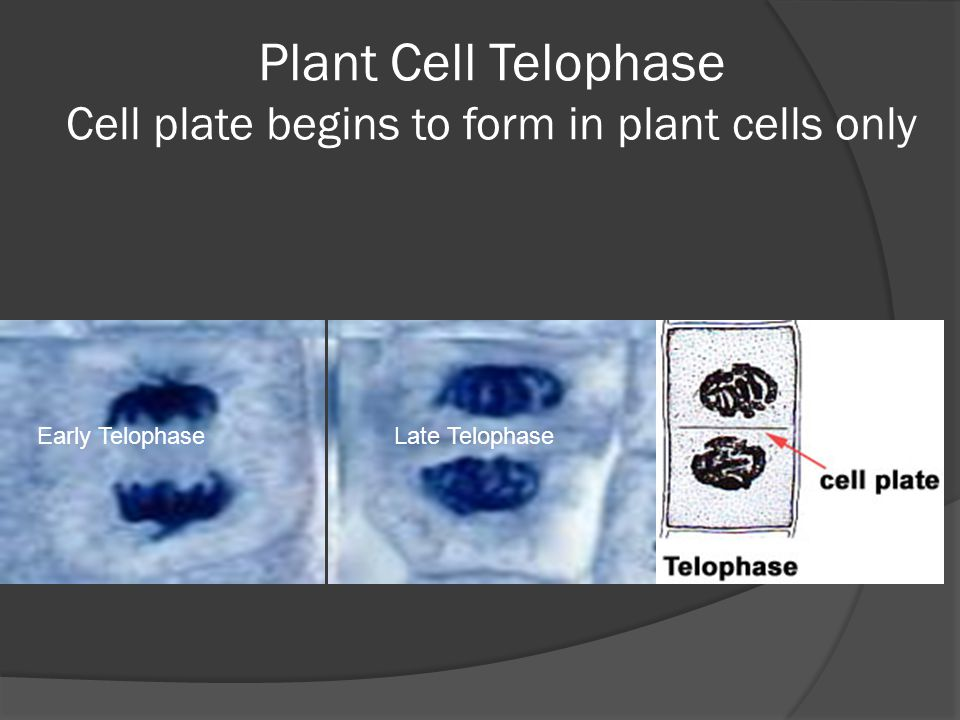 Plant Cell Telophase Cell plate begins to form in plant cells only Early TelophaseLate Telophase