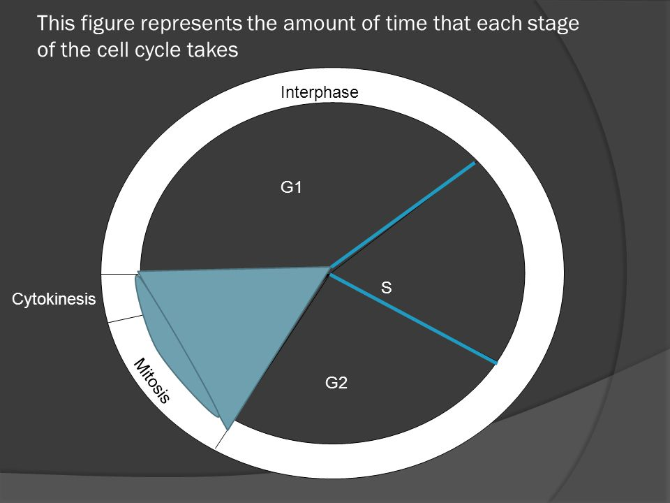 This figure represents the amount of time that each stage of the cell cycle takes G1 S G2 Interphase Mitosis Cytokinesis P M A T