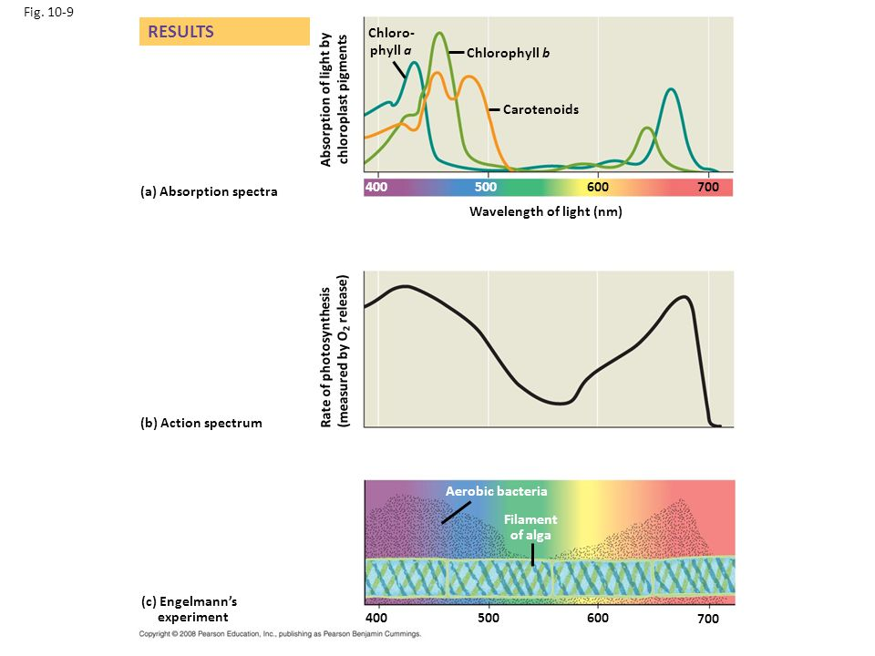 Fig. 10-9 Wavelength of light (nm) (b) Action spectrum (a) Absorption spectra (c) Engelmann's experiment Aerobic bacteria RESULTS Rate of photosynthes