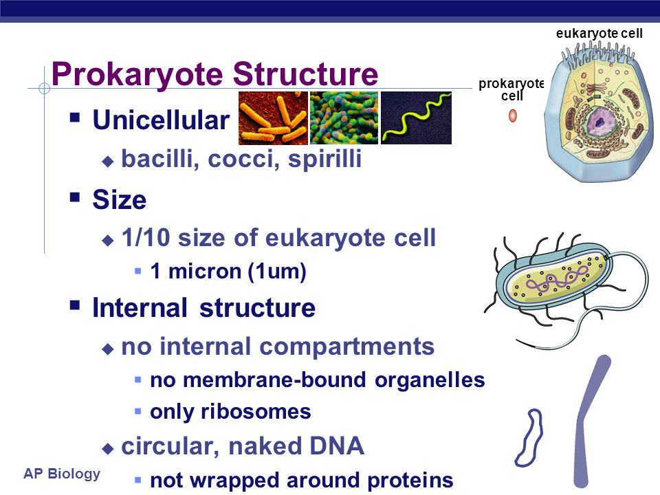 AP Biology Prokaryote Structure  Unicellular  bacilli, cocci, spirilli  Size  1/10 size of eukaryote cell  1 micron (1um)  Internal structure  no internal compartments  no membrane-bound organelles  only ribosomes  circular, naked DNA  not wrapped around proteins prokaryote cell eukaryote cell