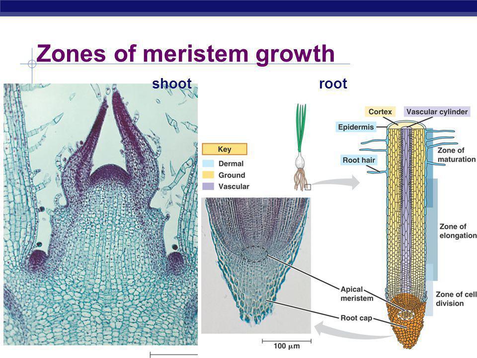 AP Biology Zones of meristem growth shootroot