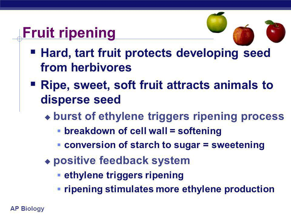 AP Biology Fruit ripening  Hard, tart fruit protects developing seed from herbivores  Ripe, sweet, soft fruit attracts animals to disperse seed  burst of ethylene triggers ripening process  breakdown of cell wall = softening  conversion of starch to sugar = sweetening  positive feedback system  ethylene triggers ripening  ripening stimulates more ethylene production