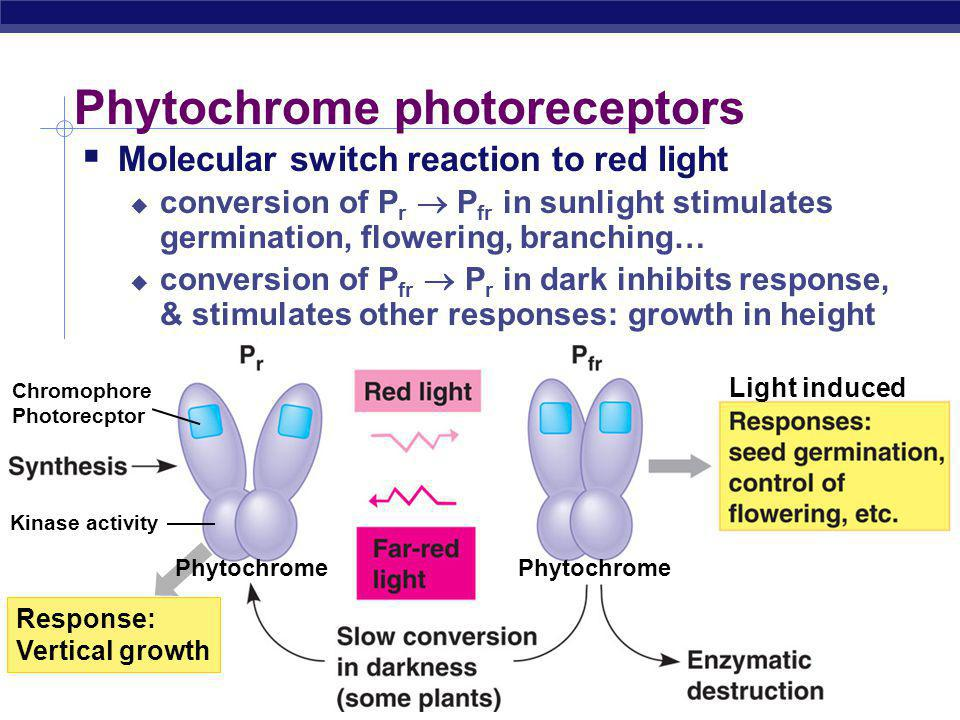 AP Biology Phytochrome photoreceptors  Molecular switch reaction to red light  conversion of P r  P fr in sunlight stimulates germination, flowering, branching…  conversion of P fr  P r in dark inhibits response, & stimulates other responses: growth in height Light induced Phytochrome Chromophore Photorecptor Kinase activity Response: Vertical growth Phytochrome