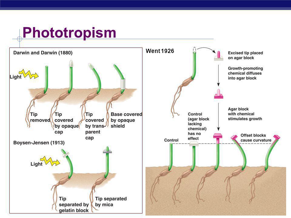 AP Biology Phototropism  Growth towards light Went 1926