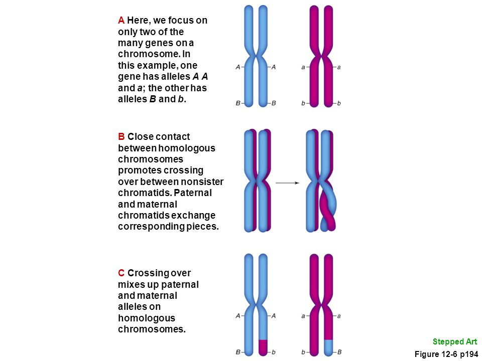 A Here, we focus on only two of the many genes on a chromosome. In this example, one gene has alleles A A and a; the other has alleles B and b. Steppe