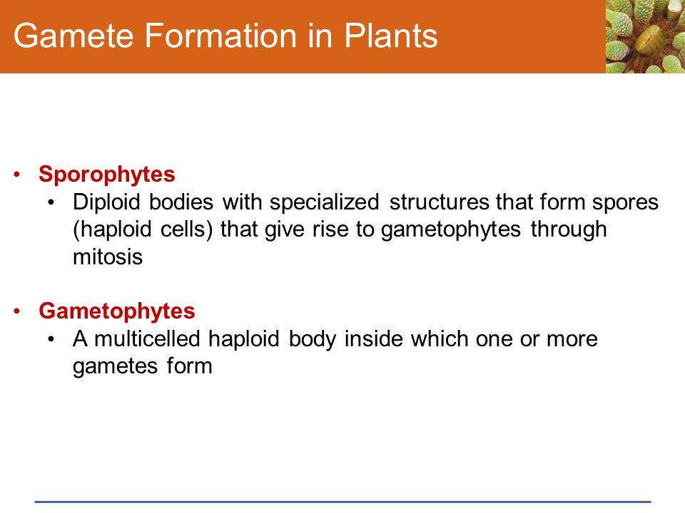 Gamete Formation in Plants Sporophytes Diploid bodies with specialized structures that form spores (haploid cells) that give rise to gametophytes thro