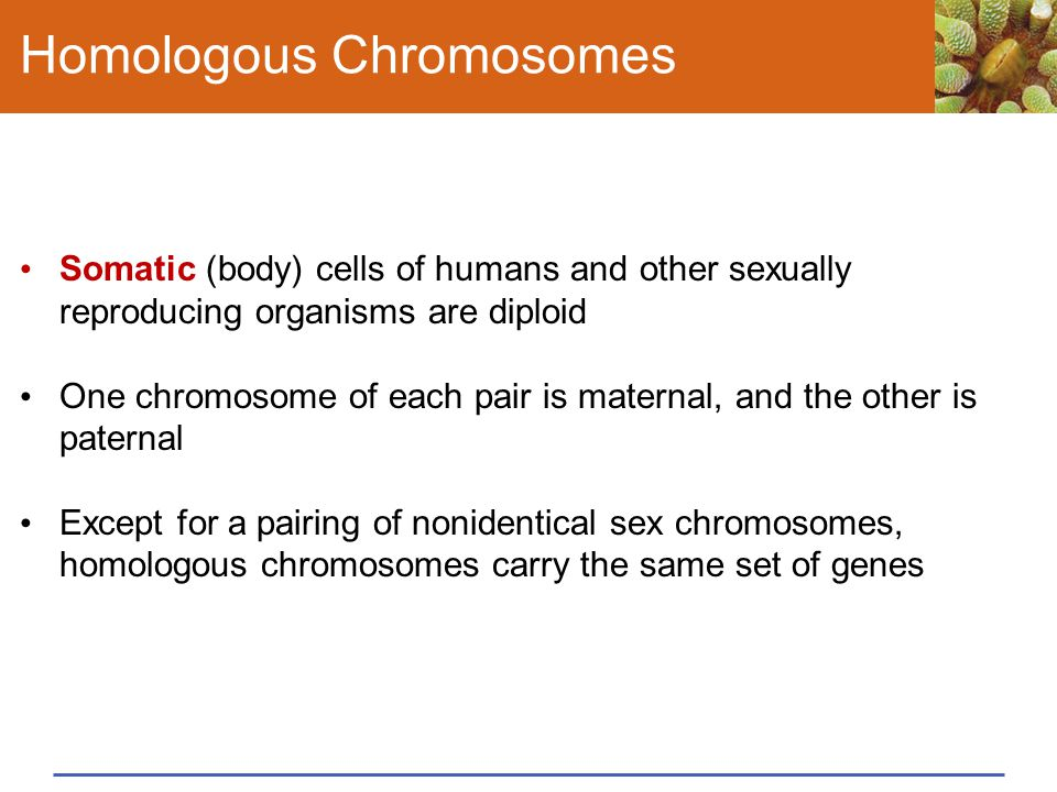 Homologous Chromosomes Somatic (body) cells of humans and other sexually reproducing organisms are diploid One chromosome of each pair is maternal, an