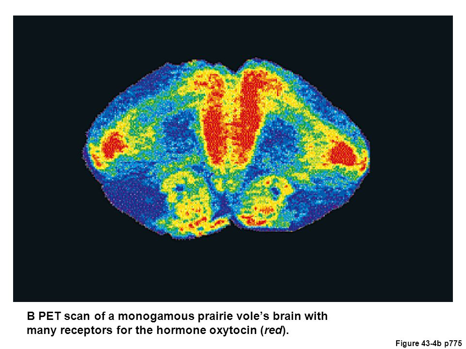 Figure 43-4b p775 B PET scan of a monogamous prairie vole's brain with many receptors for the hormone oxytocin (red).