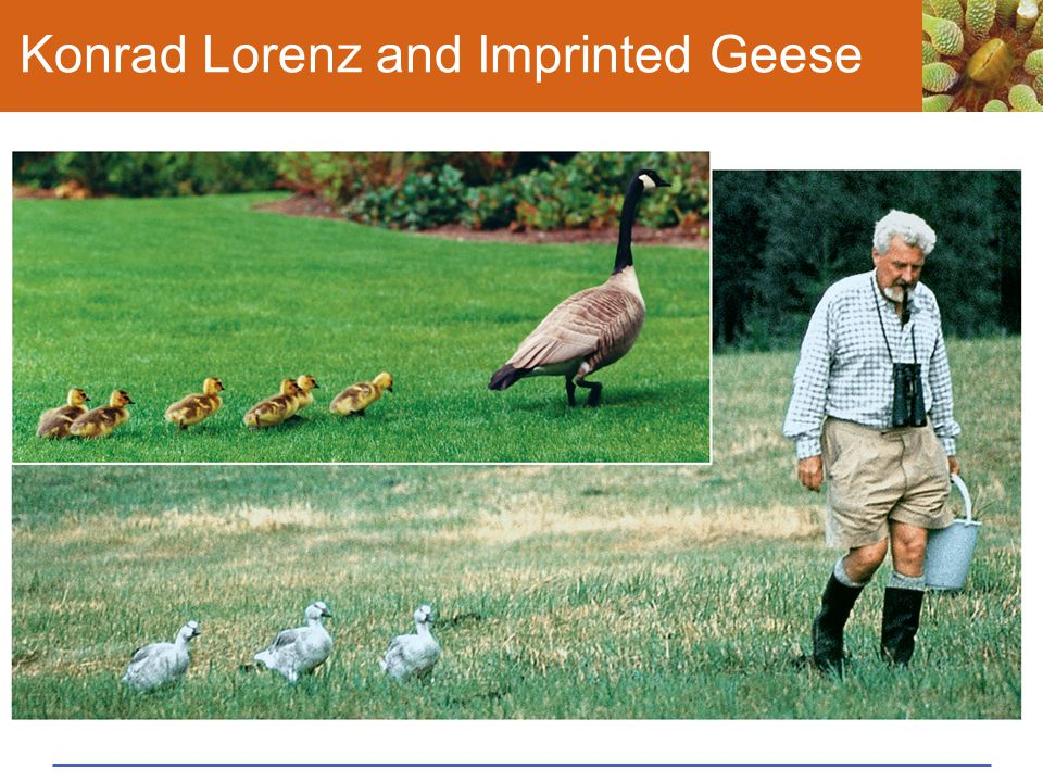 Konrad Lorenz and Imprinted Geese