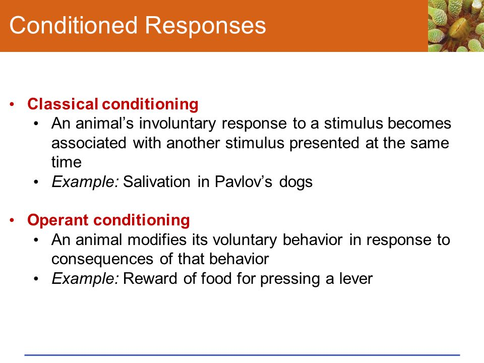 Conditioned Responses Classical conditioning An animal's involuntary response to a stimulus becomes associated with another stimulus presented at the same time Example: Salivation in Pavlov's dogs Operant conditioning An animal modifies its voluntary behavior in response to consequences of that behavior Example: Reward of food for pressing a lever