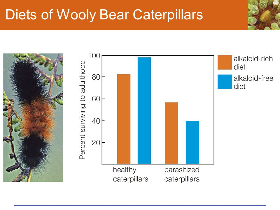 Diets of Wooly Bear Caterpillars