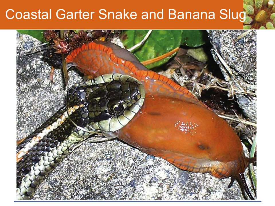 Coastal Garter Snake and Banana Slug
