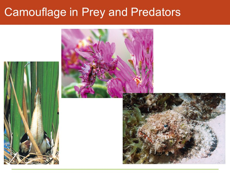 Camouflage in Prey and Predators