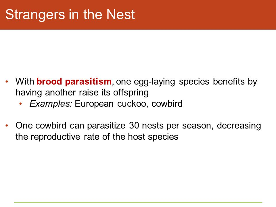 Strangers in the Nest With brood parasitism, one egg-laying species benefits by having another raise its offspring Examples: European cuckoo, cowbird