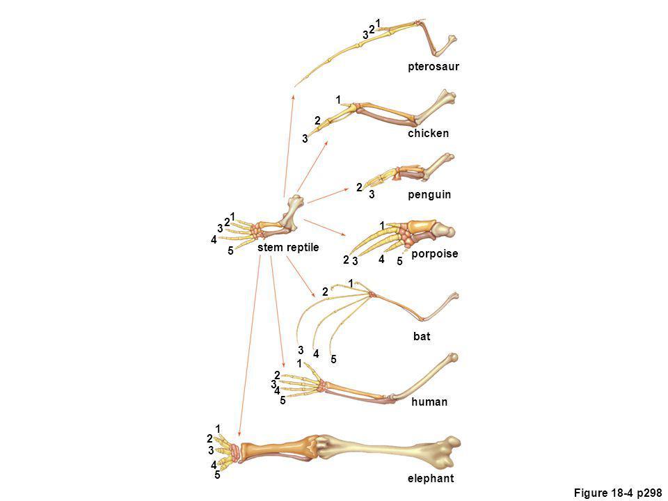 Figure 18-4 p298 5 1 pterosaur chicken penguin porpoise bat human elephant stem reptile 4 3 2 5 1 4 3 2 5 1 4 3 2 5 1 4 3 2 1 1 1 2 2 2 2 3 3 3 3 4 5