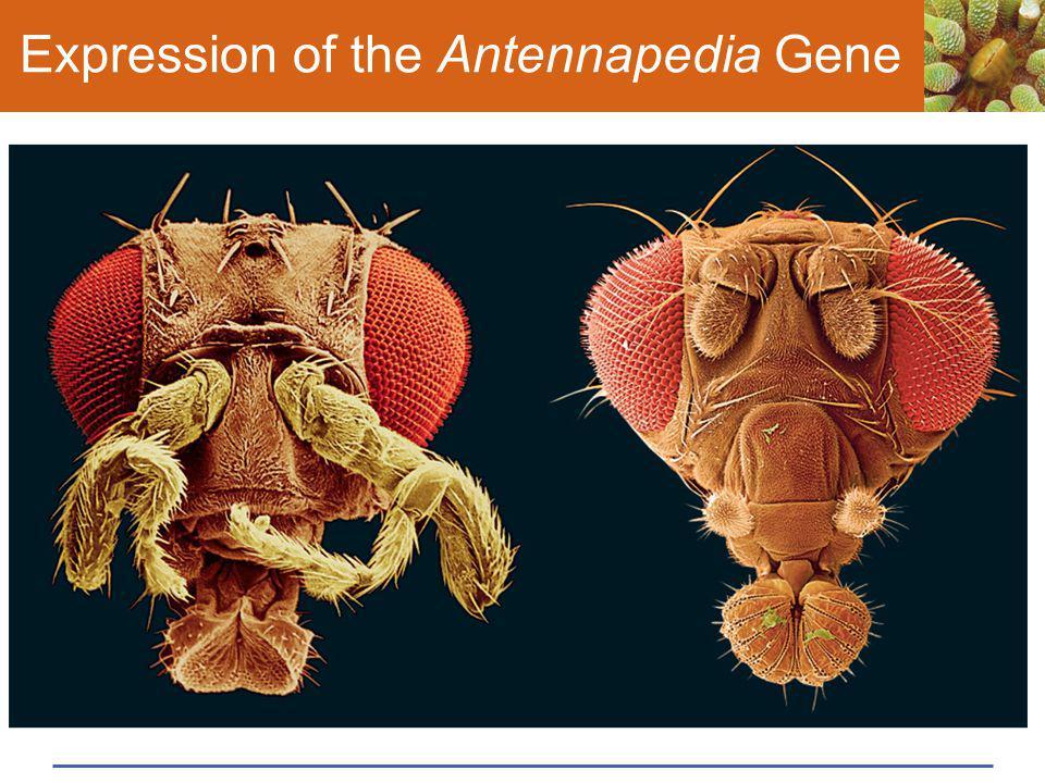 Expression of the Antennapedia Gene
