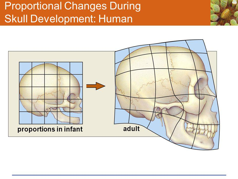Proportional Changes During Skull Development: Human proportions in infant adult