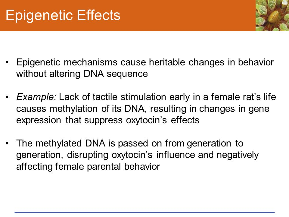 Epigenetic Effects Epigenetic mechanisms cause heritable changes in behavior without altering DNA sequence Example: Lack of tactile stimulation early