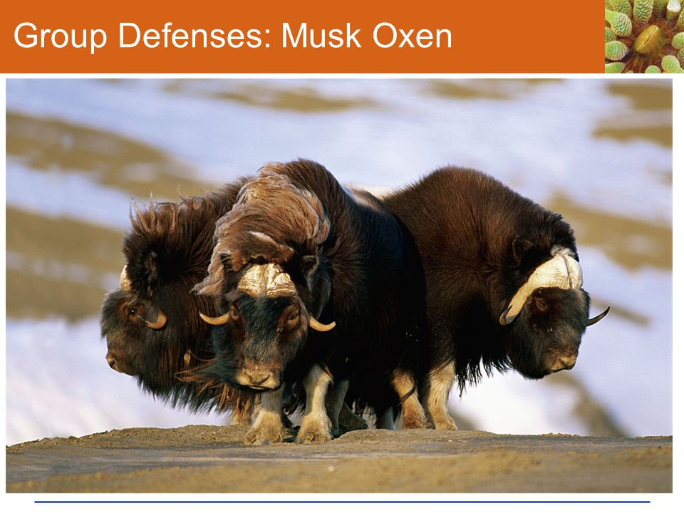 Group Defenses: Musk Oxen