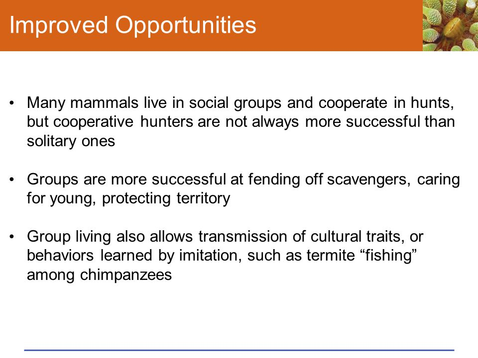 Improved Opportunities Many mammals live in social groups and cooperate in hunts, but cooperative hunters are not always more successful than solitary