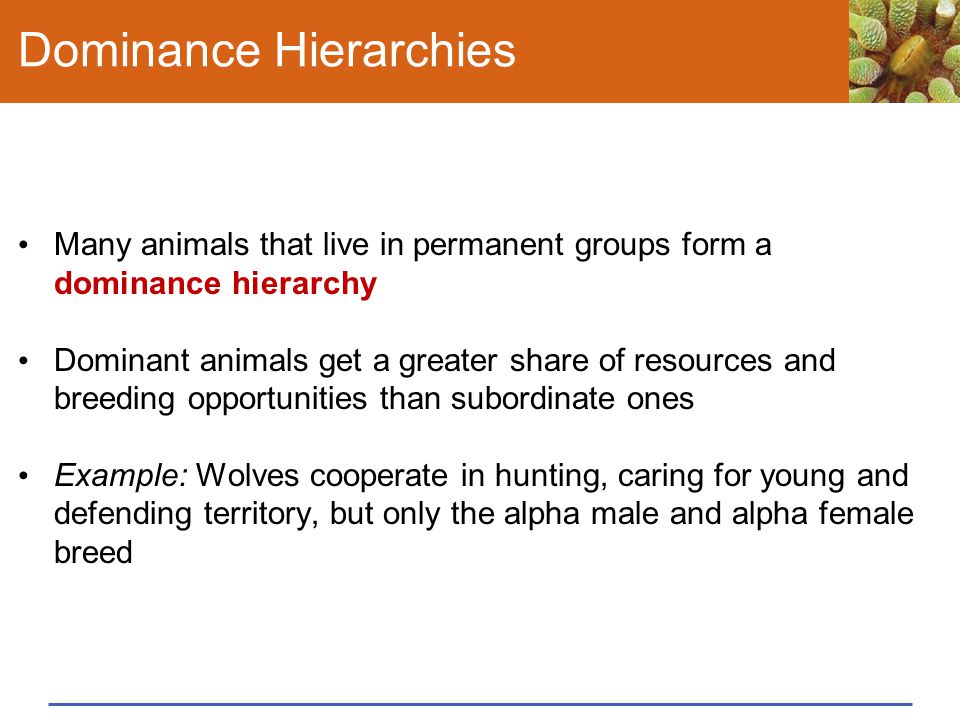Dominance Hierarchies Many animals that live in permanent groups form a dominance hierarchy Dominant animals get a greater share of resources and bree