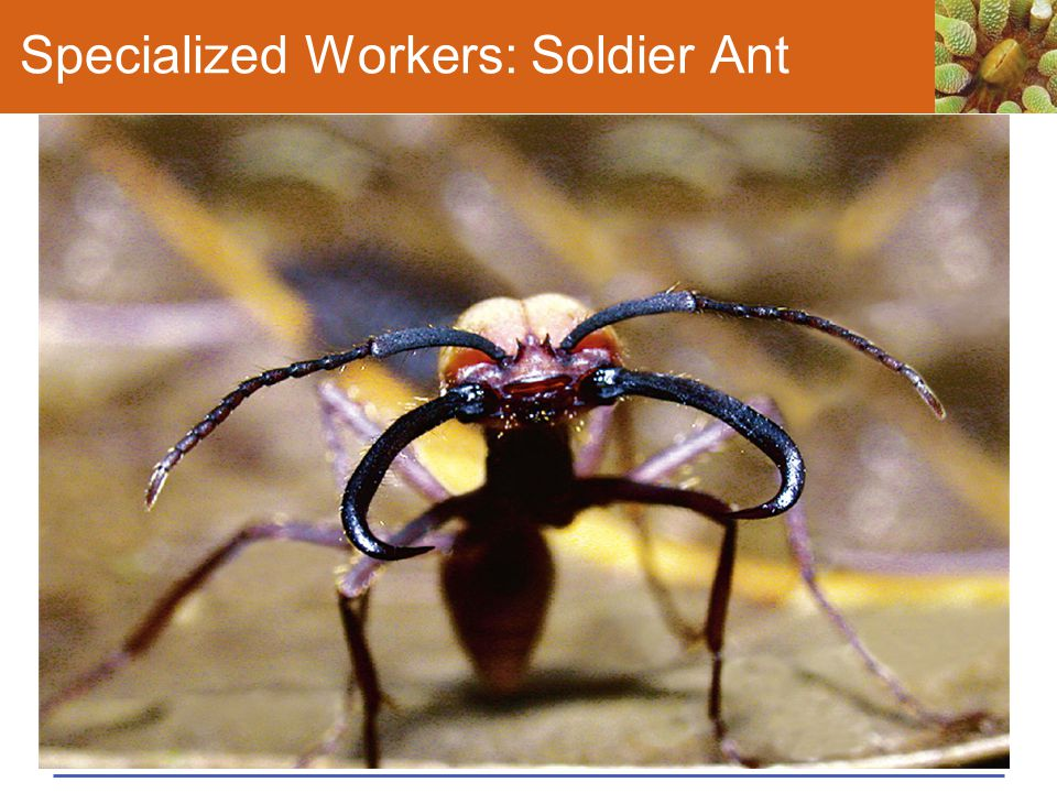 Specialized Workers: Soldier Ant
