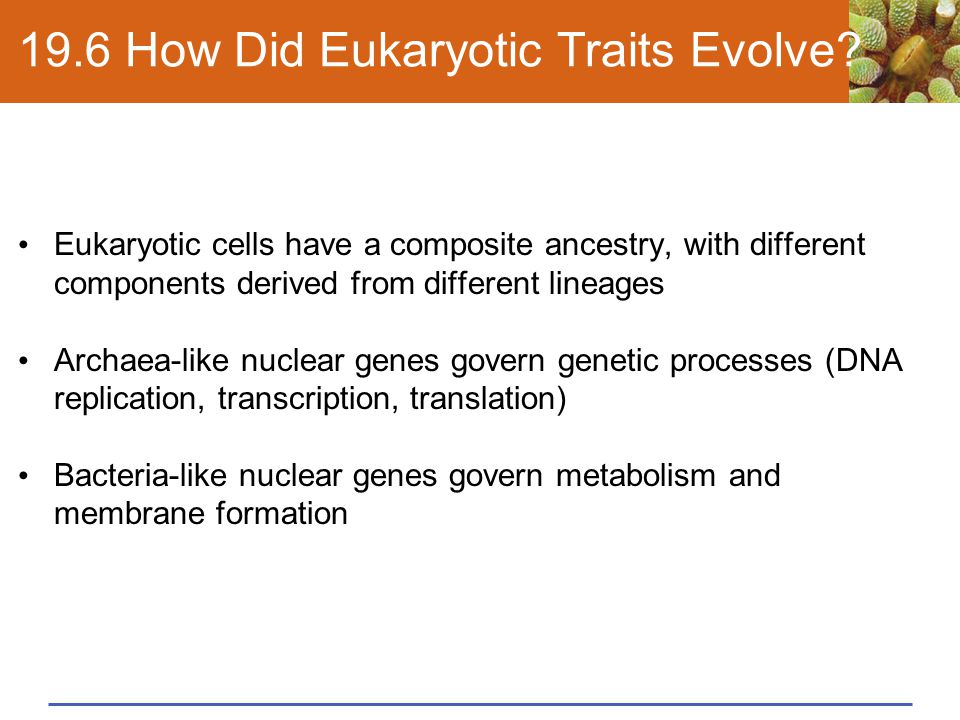 19.6 How Did Eukaryotic Traits Evolve? Eukaryotic cells have a composite ancestry, with different components derived from different lineages Archaea-l