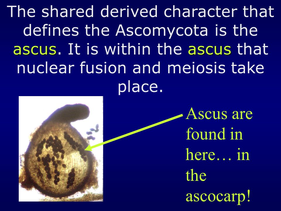 ascusascus The shared derived character that defines the Ascomycota is the ascus. It is within the ascus that nuclear fusion and meiosis take place. A