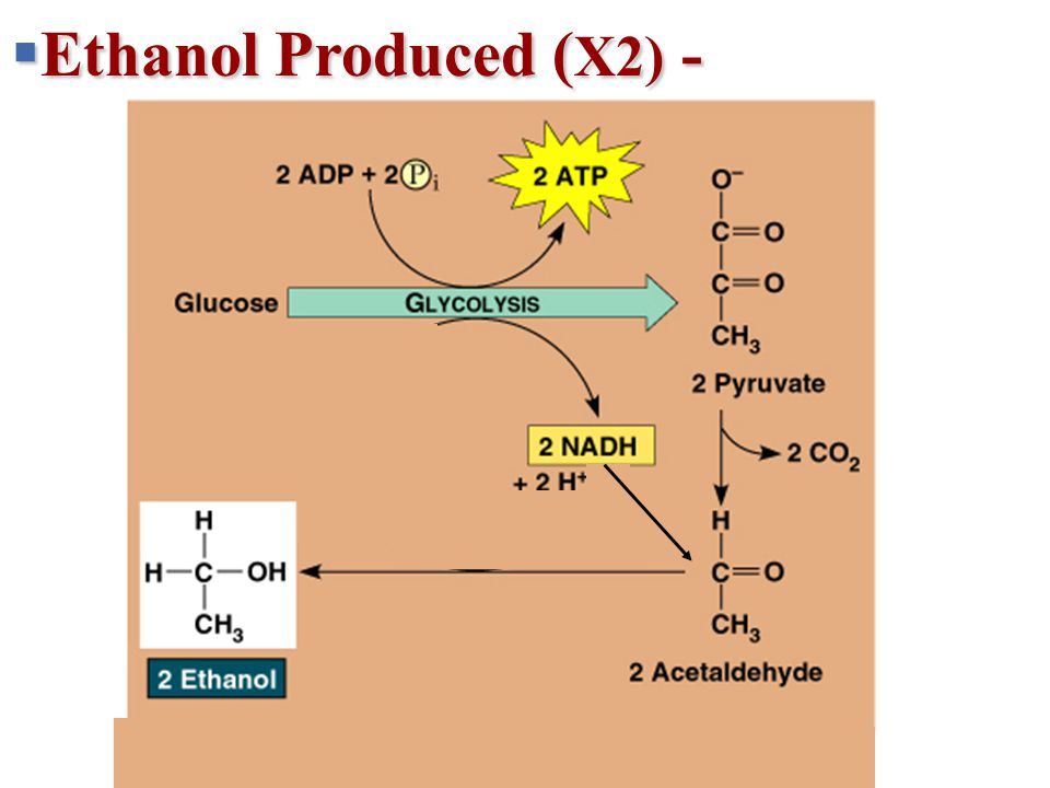 + 2 H + 2 NADH2 NAD + 2 ATP 2 ADP + 2 P 2 Pyruvate 2 2 Lactate Lactic acid fermentation Glucose Glycolysis  Ethanol Produced ( X2) -
