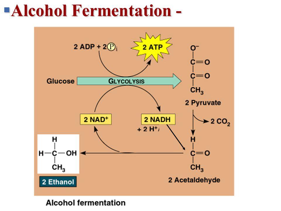  Alcohol Fermentation - + 2 H + 2 NADH2 NAD + 2 ATP 2 ADP + 2 P 2 Pyruvate 2 2 Lactate Lactic acid fermentation Glucose Glycolysis