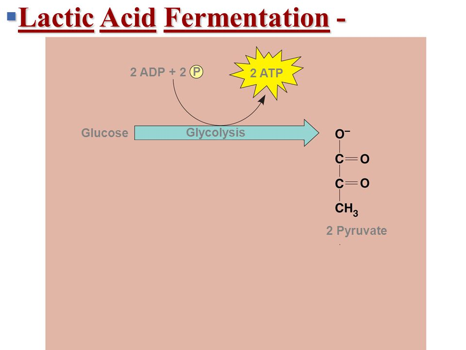  Lactic Acid Fermentation - + 2 H + 2 NADH2 NAD + 2 ATP 2 ADP + 2 P 2 Pyruvate 2 Lactate Lactic acid fermentation Glucose Glycolysis