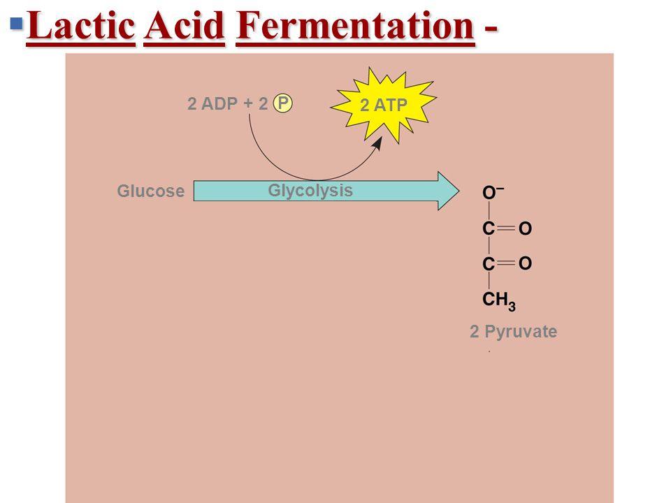  Lactic Acid Fermentation - + 2 H + 2 NADH2 NAD + 2 ATP 2 ADP + 2 P 2 Pyruvate 2 Lactate Lactic acid fermentation Glucose Glycolysis