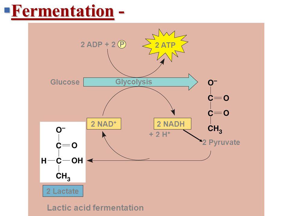  Fermentation - + 2 H + 2 NADH2 NAD + 2 ATP 2 ADP + 2 P 2 Pyruvate 2 Lactate Lactic acid fermentation Glucose Glycolysis