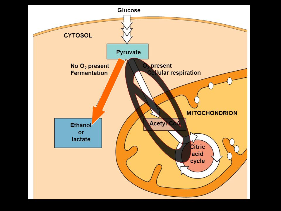 FFFFermentation - the synthesis of ATP via. glycolysis ONLY in the absence of oxygen