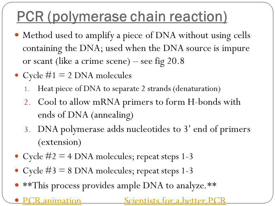 PCR (polymerase chain reaction) Method used to amplify a piece of DNA without using cells containing the DNA; used when the DNA source is impure or scant (like a crime scene) – see fig 20.8 Cycle #1 = 2 DNA molecules 1.