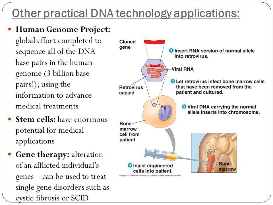 Other practical DNA technology applications: Human Genome Project: global effort completed to sequence all of the DNA base pairs in the human genome (3 billion base pairs!); using the information to advance medical treatments Stem cells: have enormous potential for medical applications Gene therapy: alteration of an afflicted individual's genes – can be used to treat single gene disorders such as cystic fibrosis or SCID
