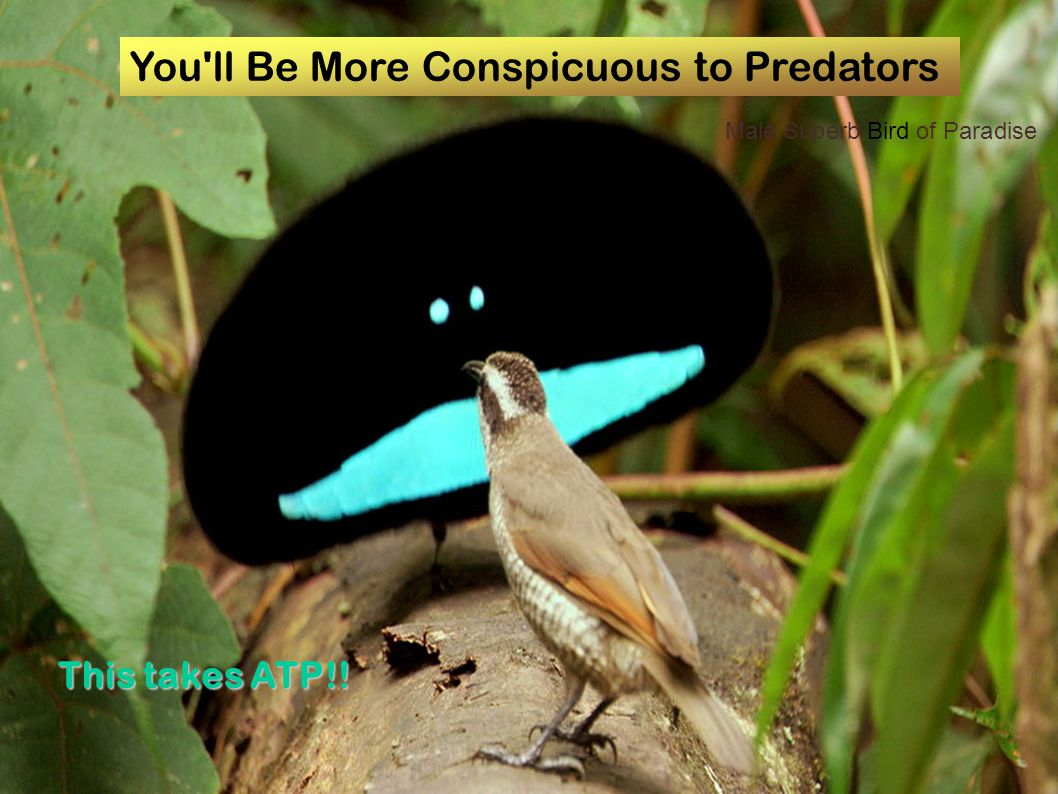 You'll Be More Conspicuous to Predators This takes ATP!! Male Superb Bird of Paradise