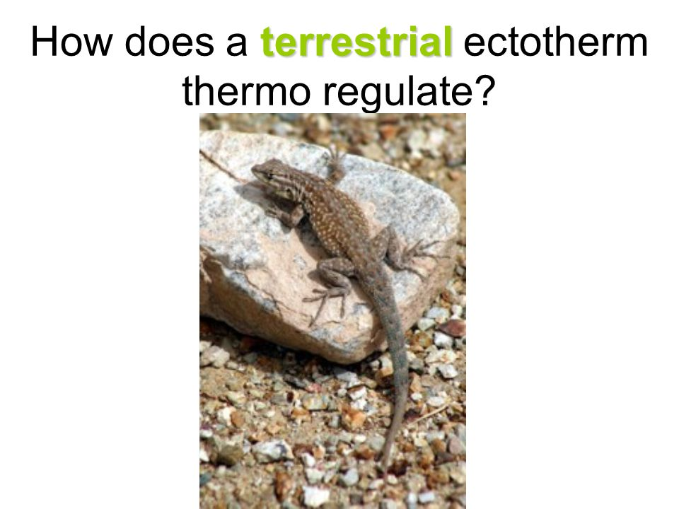 terrestrial How does a terrestrial ectotherm thermo regulate