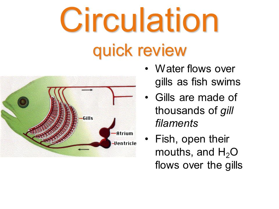 Circulation quick review Water flows over gills as fish swims Gills are made of thousands of gill filaments Fish, open their mouths, and H 2 O flows over the gills