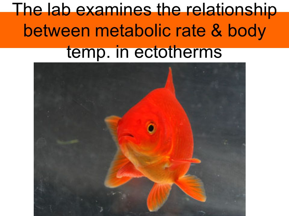 The lab examines the relationship between metabolic rate & body temp. in ectotherms