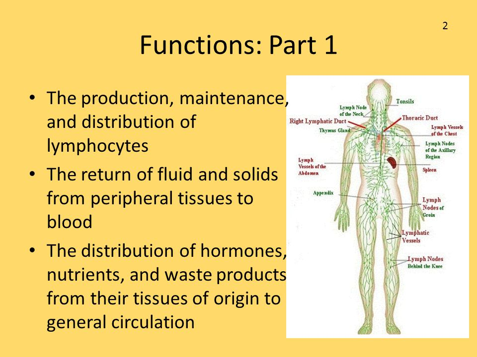 Functions: Part 1 The production, maintenance, and distribution of lymphocytes The return of fluid and solids from peripheral tissues to blood The dis