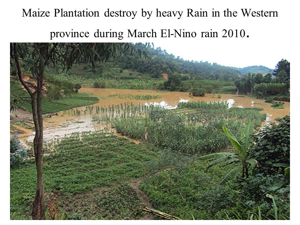 Maize Plantation destroy by heavy Rain in the Western province during March El-Nino rain 2010.