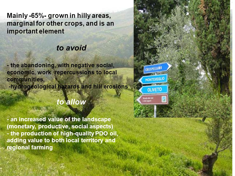 Mainly -65%- grown in hilly areas, marginal for other crops, and is an important element to avoid - the abandoning, with negative social, economic, work repercussions to local communities, -hydrogeological hazards and hill erosions to allow - an increased value of the landscape (monetary, productive, social aspects) - the production of high-quality PDO oil, adding value to both local territory and regional farming