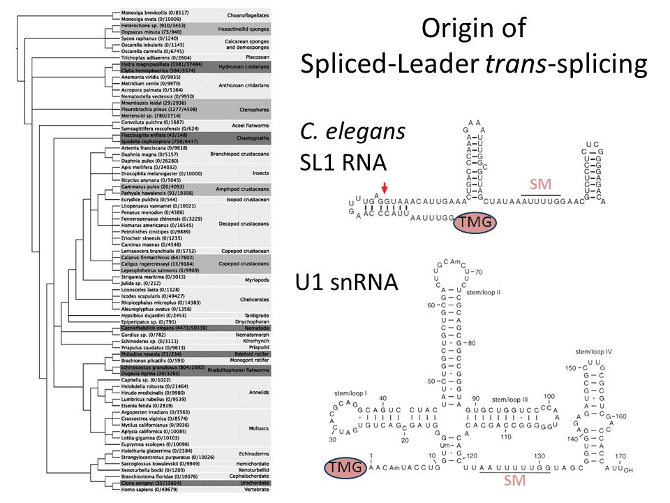 Origin of Spliced-Leader trans-splicing C. elegans SL1 RNA U1 snRNA TMG SM